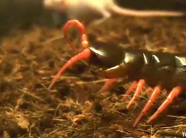 Giant Centipede Giant Centipede Fangs Giant Centipede Fangs